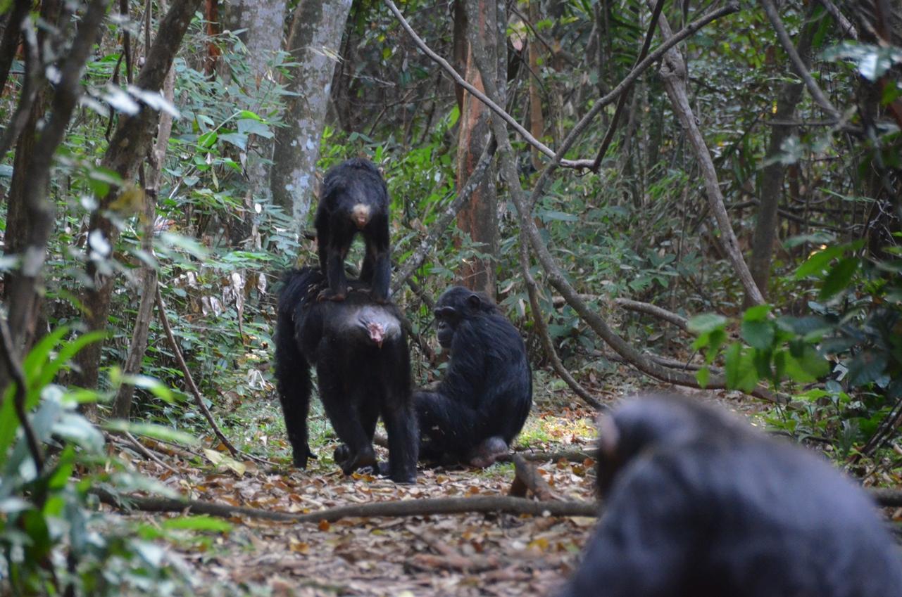 chimp op rug